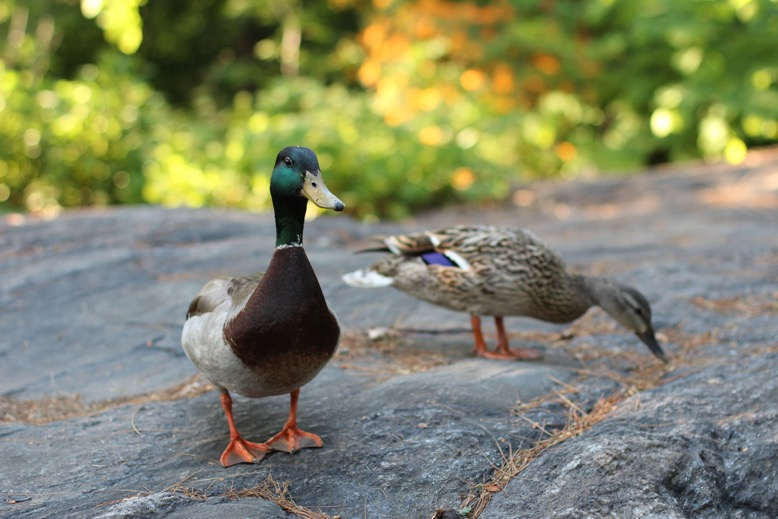 mallards on rock